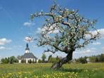 Apfelbaum vor der Pretzschendorfer Kirche
